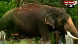 एक हफ्ते की कोशिशों के बाद काबू कर लिया गया जंगली हाथी