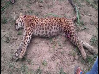 ग्रामीणों ने  तेंदुए को पीट-पीटकर मार डाला