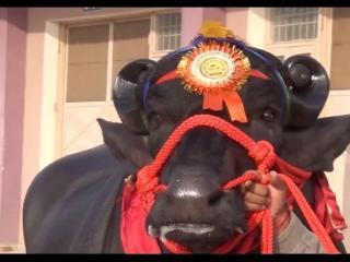 गणतंत्र दिवस की शान बढ़ाएंगे गाय और भैंसा