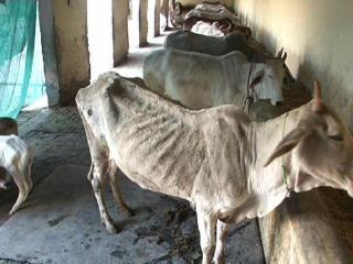 एक ऐसा गांव जहां गायों को पढ़ाया जाता है प्रेम पाठ