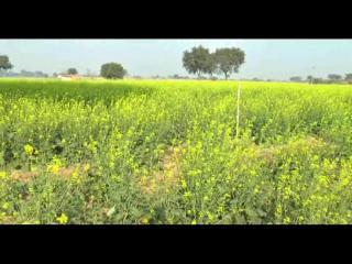गेंहू व सरसों की फसल पर गहराया संकट, किसानों की बढ़ी परेशानी