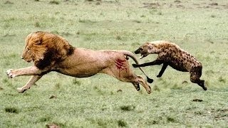 Lion vs Hyena Real Fight And Unexpected Results!