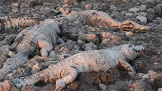Drought kills Paraguay's thirsty alligators