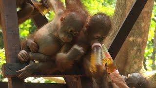Jungle school helps rescued orangutans return to wild