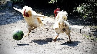 Funny Chicken - ULTIMATE Funny CHICKEN Compilation