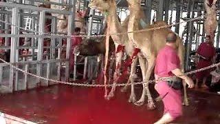 Camel Qurbani in Saudia Arabia - Eid ul Adha in Saudia Arabia 2015