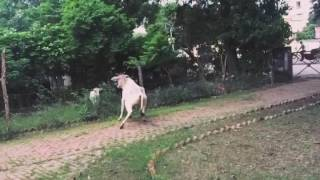 Cow Thuglife ! Watch the cow skid to scare off the calf .. lol .. watch the full video !