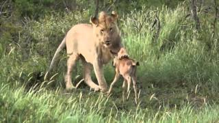 Lion saves a baby calf from another lion attack- OFFICIAL - Vishwa Gujarat