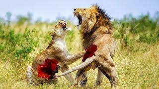15 Animal Fights Caught On Camera - Most Amazing Wild Animal Attacks 2016
