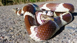 Most Amazing Snake Attacks - King Cobra attacks Python - Python attacks King Cobra