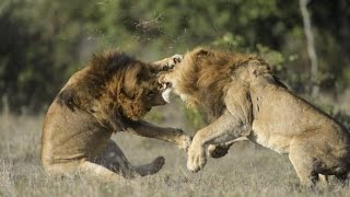 Lion vs Lion Amazing Fighting