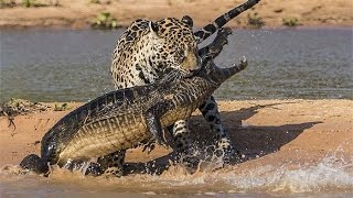 Most Amazing Wild Animal Attacks - Shocking