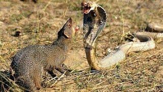 Mongoose vs Cobra vs Snake