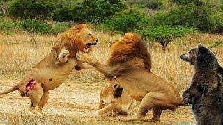Lion vs Bear vs Bear - Amazing King Animals Fight - Fight to Dead
