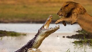 Lion Vs Crocodile Best Real Fight
