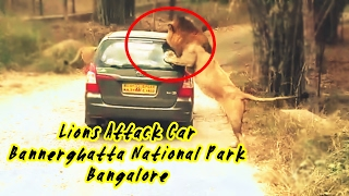 Lion Attack Car in Bannerghatta National Park, Bengaluru - Exclusive Video
