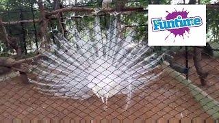 Indian Beautiful white peacock dancing - fully opened peacock - Latest best Peacock Dancing Videos