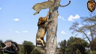 Lion vs Leopard   2016 - Best unexpected raids and battles.
