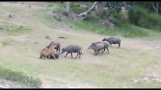 Tiger Attacks Buffalo