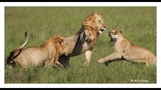 Lion vs 6 Lions - Male Lion Fighting with 6 Lioness - Animal Attack