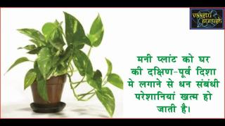 Bad luck shall increase if these plants kept in wrong direction. #Acharya Anuj Jain  बढेगा दुर्भाग्य, पे
