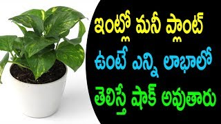 Shocking Benefits of Money Plant in Houses|Vastu Tips For Money Plant