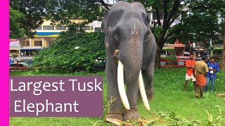 Largest tusk elephant