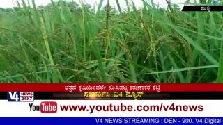 High profit Paddy crop and it's Model for Socity in Kinnigoli