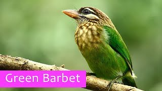 small green barbet - close up video