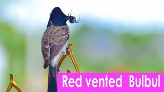 Red vented  Bulbul - too close to watch