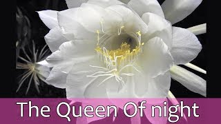 The queen of night - Bethlehem lily - beautiful Nishagandhi flower
