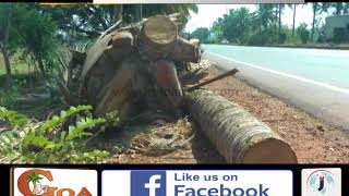 Hundreds Of Coconut Trees Along Guirim-Mapusa Highway Being Readied To Cut