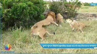 Watch fight of fighting lions in Gir