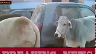 रामपुर: पुलिस को बड़ी कामयाबी, 26 प्रतिबंधित गाय बरामद