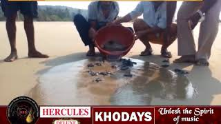 This Video Of Olive Ridley Turtle Hatchlings Will Make Your Day