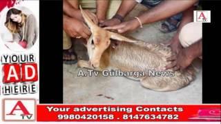Gulbarga Me Mila Hiran Ka Baccha A.Tv News 10-3-2017