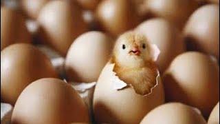 Chicks hatching