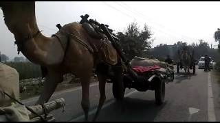 These Camel in Rural Area of Delhi. The Capital of India  ..