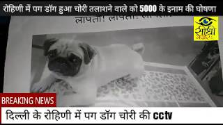 Delhi Rohini Pug Dog Chori ... पता लगाने पर 5000 का इनाम