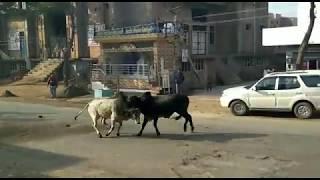 jind bull fight / Rohtak Jind road sando ki ladai -1
