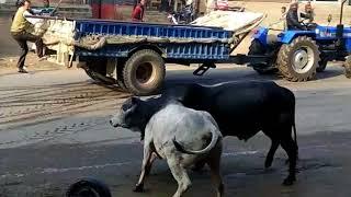 jind bull fight / Rohtak Jind road sando ki ladai -2