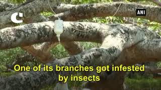 700 year old banyan tree receives saline treatment for infestation