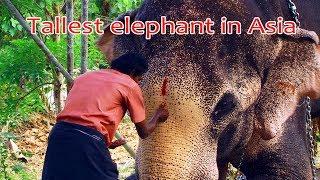 Tallest elephant in Asia  - Thechikkottukavu Ramachandran