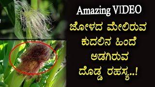 Unknown Facts about Corn Silk | Kannada Health Tips | Top Kannada TV