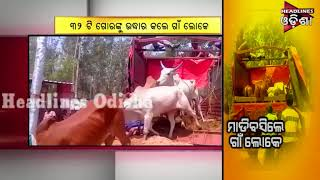 Cattle Rescue In Keonjhar