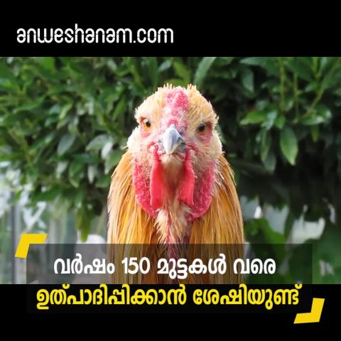 The king of chickens, a Brahma