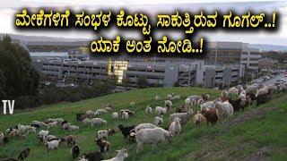 ಮೇಕೆಗಳನ್ನು ಸಾಕುತ್ತಿರುವ ಗೂಗಲ್ ಕಂಪನಿ ಕಾರಣ ಮಾತ್ರ ಸುಪರ್ | Kannada Live news | Top Kannada TV