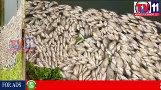 DUE TO POISONED WATER THOUSANDS OF FISH FLUSHED FROM POND AT ABDULLAPURMET TV11 NEWS 7TH SEP 2017