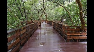 Walk among the Mangroves On This newly Built Walkway At Rua de Ourem