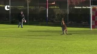 Watch: Not players but Kangaroos to play football now